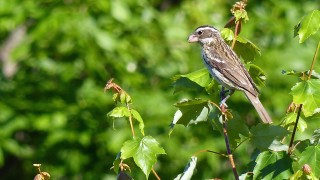 FemaleRoseBreastedGrosbeak