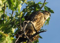 Flared-tail-Merlin_JPG