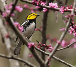 Golden-cheeked Warbler by Lora Render