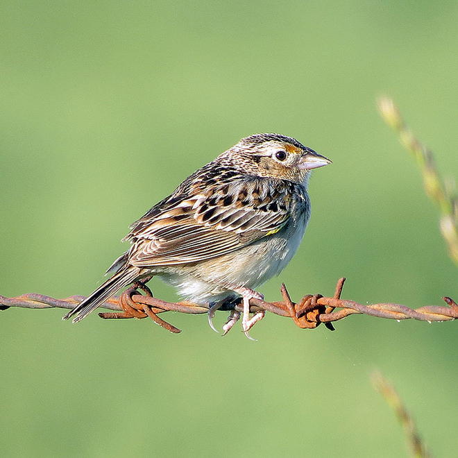GrasshopperSparrow-660