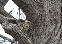 Green-barred-woodpecker-6