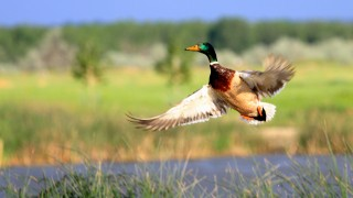 Mallard-in-Flight-9401a