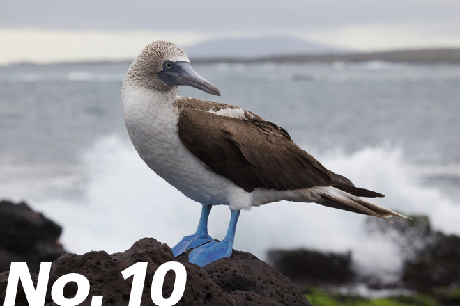 A Blue-footed Booby perches on a rock on the Galapagos Islands. Photo by Nicolas de Camaret (Creative Commons)