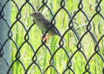 Mystery-Sparrow.Cedar-Bay