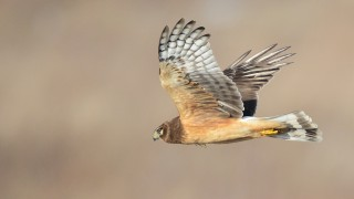 Northern-Harrier-2