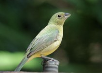 Painted-Bunting-female