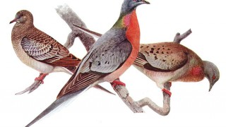 Passenger Pigeons by Louis Agassiz Fuertes, juvenile left, male center, and female right, offset reproduction of watercolor. Birds of New York (New York State Museum. Memoir 12), Albany: University of the State of New York. Wikimedia Commons.