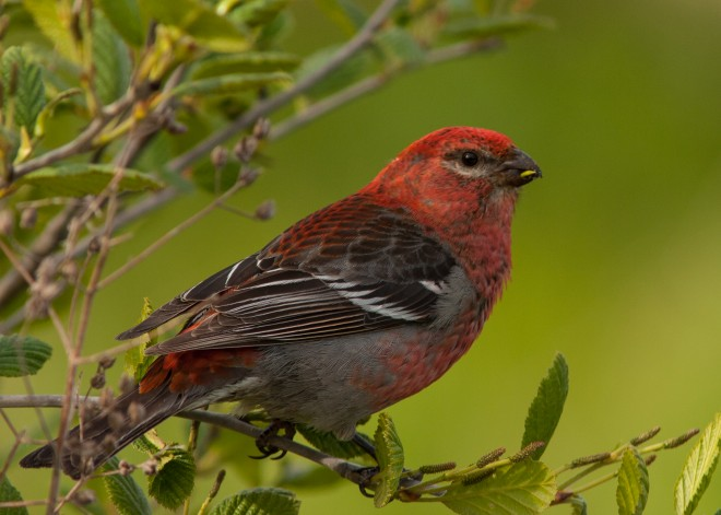 Pine-Grosbeak-1