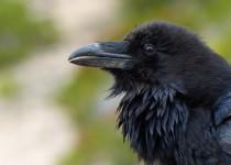 RavenCloseupforweb