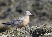 Red-Knot-21
