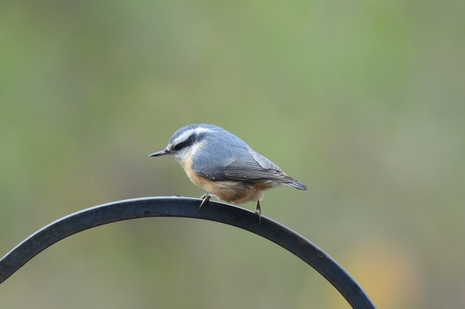 Red-breasted-Nuthatch-3