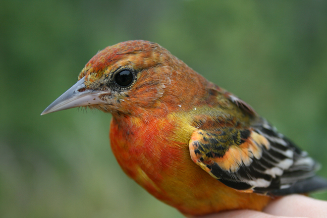 This unusual-looking bird is a young Baltimore Oriole. It ate the berries of an introduced honeysuckle while molting. Consequently, feathers that in autumn are normally yellow or olive came in red. Photo by Seabrooke Leckie