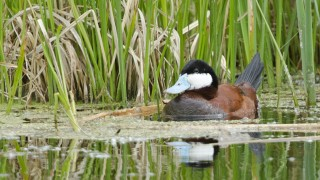 Ruddy-Duck-1