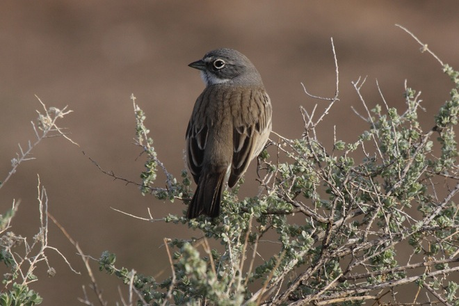 Sage Sparrow by Dominic Sherony