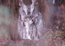 Screech-Owl-grey-phase