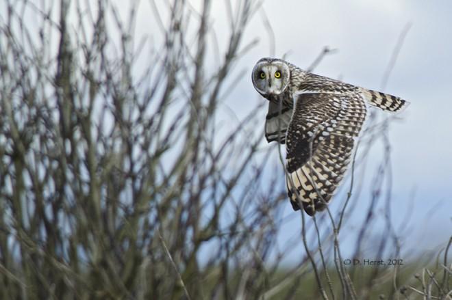 Short-eared-Owl-2