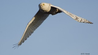 Snowy-Owl-01-1