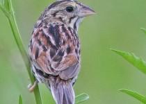 Sparrow-Henslows-13-0541