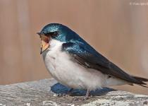 Swallow-Tree-07-9240