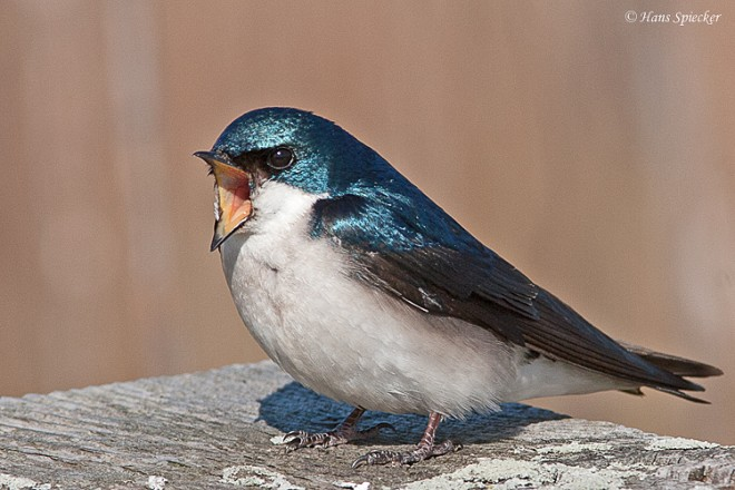 Swallow-Tree-07-9240