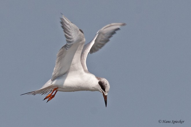 Tern-Forsters-07-8810