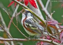 Warbler-Chestnut-sided-13-0396