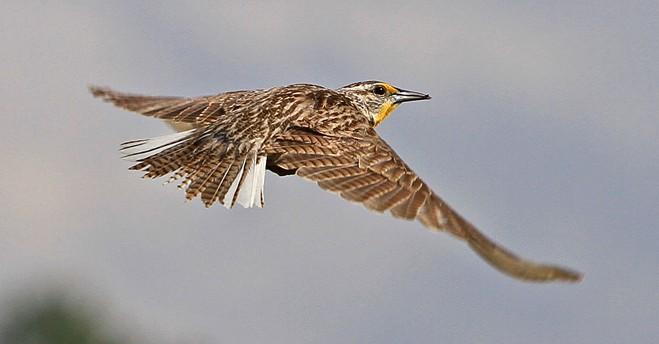 Western Meadowlark ©2013 David Daniels