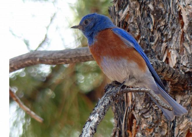 WesternBluebirdforweb