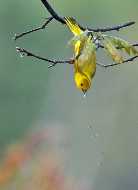 Yellow-Warbler-and-Mosquitoes-46V