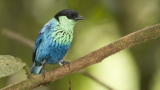 Black-capped tanager, Tandayapa Valley, Ecuador