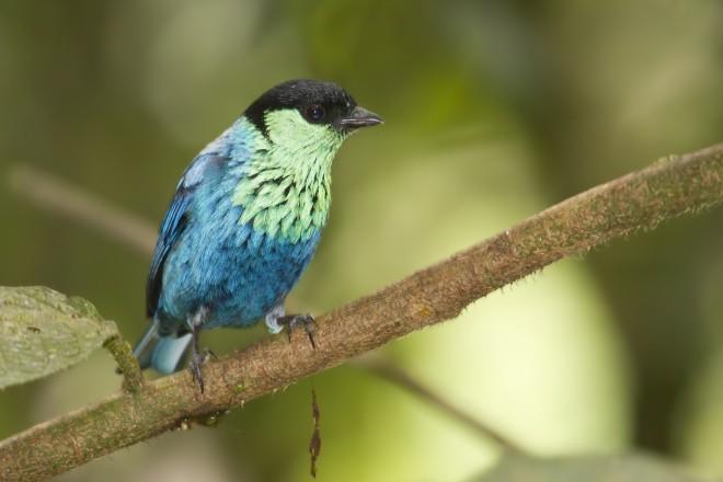 Black-capped tanager, Tandayapa Valley, Ecuador
