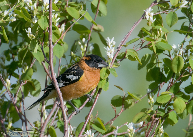 black-headed-grosbeak-mia-mcpherson-5567