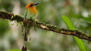 broad-billed-motmot