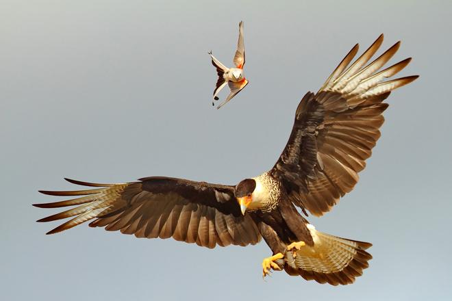 caracara-flycatcher-ramirez