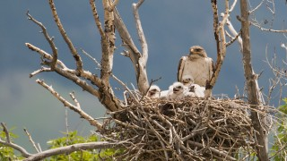 ferruginous-hawk-chicks-mia-mcpherson-6103