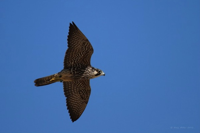 Banded juvenile Peregrine Falcon hunting at Sandy Hook, New Jersey. Photo by thescavenger.