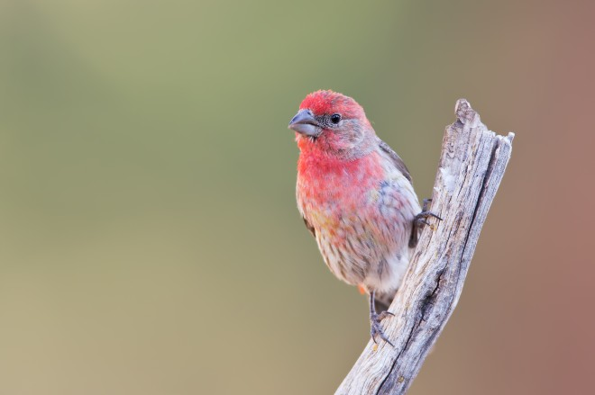 house-finch-1108