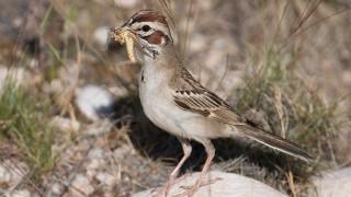 lark-sparrow-grasshopper-mia-mcpherson-8276