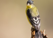 lesser-goldfinch-1222