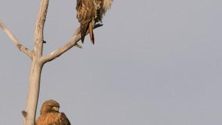 red-tailed-hawk-pair-mia-mcpherson-6504