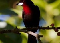 silver-beaked-tanager-2708