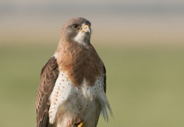 swainsons-hawk-adult-montana-mia-mcpherson-7420