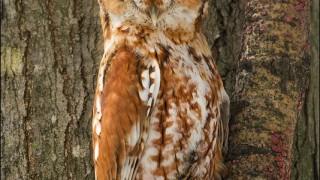 tn_Eastern-Screech-Owl_3807-1
