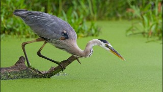 tn_Great-Blue-Heron_1463-1