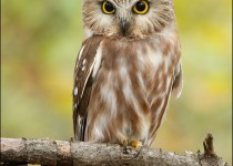 tn_Northern-Saw-whet-Owl_0891-1