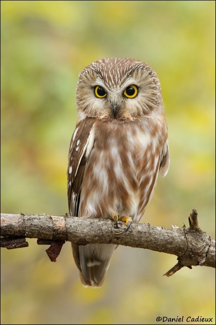 tn_Northern-Saw-whet-Owl_0891-1