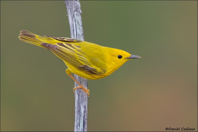 Yellow Warbler by Daniel Cadieux