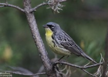 Kirtland's Warbler in Ogemaw County, Michigan, by woodsongphoto.