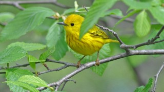 yellowwarbler0670-copy