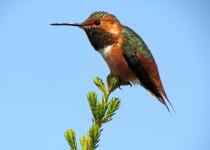 Allens-Hummingbird